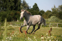 Young gray andalusian spanish horse galloping free Royalty Free Stock Photos