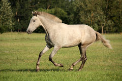 Young gray andalusian spanish horse galloping free Stock Images