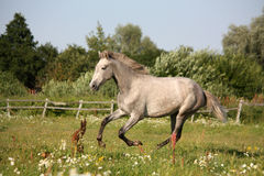 Young gray andalusian spanish horse galloping free Royalty Free Stock Image