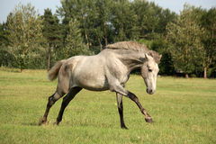 Young gray andalusian spanish horse galloping free Stock Photos