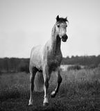 Young gray andalusian stallion running Stock Photo