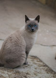 Young gray blue eyed cat. Sittion on the street in Italy Stock Photos