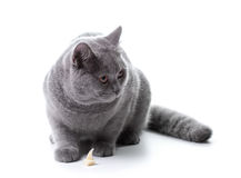 Young gray cat Royalty Free Stock Photography