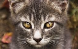 Young gray cat with beautiful eyes. Gray cat with yellow eyes. Cat`s eyes. Young gray cat with beautiful eyes. Gray cat with yellow eyes royalty free stock photo