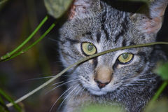 Young gray cat Stock Photography