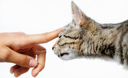 Young gray cat human hand Royalty Free Stock Photo