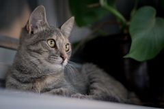 Young gray cat laying on white window board with plant in the background.  stock photos