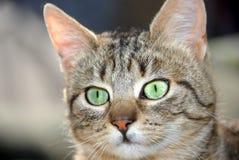 Young gray cat portrait Stock Photos