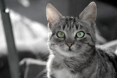 Young gray cat portrait Royalty Free Stock Photo