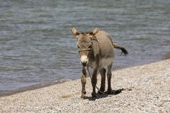 Young gray donkey trots along the shore of Song Kul lake. In Kyrgyzstan stock photo