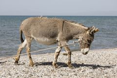Young gray donkey trots along the shore of Song Kul lake. In Kyrgyzstan Royalty Free Stock Photos