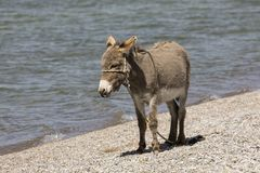 Young gray donkey trots along the shore of Song Kul lake. In Kyrgyzstan Royalty Free Stock Photo