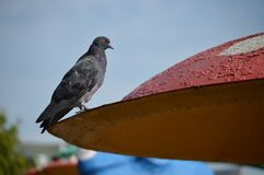 Young gray dove on the roof. Interesting photo. stock photo
