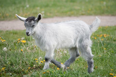 Young gray goat Royalty Free Stock Photos