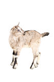 Young gray goatling Stock Photos