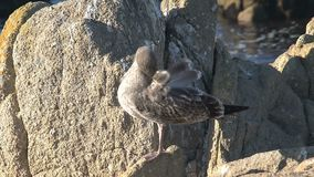 Young gray gull Westcoast, California, United States stock video footage