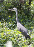 Young gray heron on the ground under the colony. Stock Images