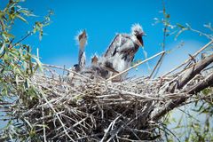 Young gray herons in nest Stock Photos