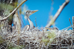 Young gray herons in nest Stock Photography