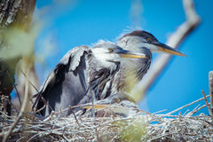 Young gray herons in nest Royalty Free Stock Photography