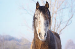 Young gray horse with hoarfrost on nose Royalty Free Stock Images
