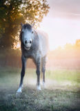 Young gray horse yawn on morning summer pasture Stock Photography
