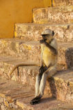 Young gray langur sitting on the stairs in Amber Fort, Jaipur, R Stock Photos
