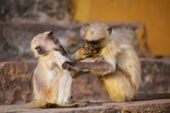 Young gray langurs playing on the stairs in Amber Fort, Jaipur, Stock Photo