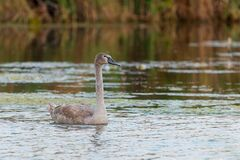 Young gray mute swan or Cygnus olor swimming on the water