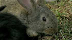 Young gray rabbit eating grass Stock Photos