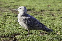 A young gray seagull standing on the grass in the morning sun stock photos