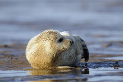 Young gray seal pup Stock Images