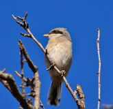 Young gray shrike on intense blue sky Royalty Free Stock Photos