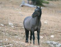 Young Gray Silver Grulla mare wild horse at evening dusk on Sykes Ridge in the Pryor Mountains Wild Horse Range in Montana USA Stock Photography