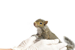 Young Gray Squirrel stock images