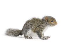 Young Gray Squirrel. On a white background royalty free stock images