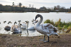 Young gray swans Stock Image