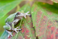 Young Gray Treefrog Royalty Free Stock Photography