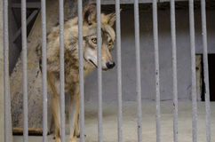 Young the gray wolf in a cage behind the bars Stock Photos