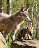 Young gray wolf pup with parent. Close up image of a young, gray wolf pup, alert and focused, beside its parent.  Summer in Minnesota Royalty Free Stock Image