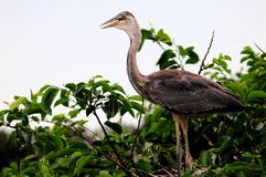 Young great blue heron in nest in South Florida Royalty Free Stock Photo