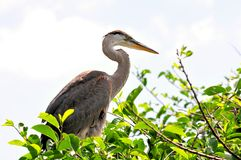 Young Great blue heron in nest in wetlands Stock Photo