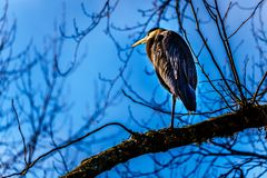 Young Great Blue Heron sitting on tree branch in Pitt-Addington Marsh at Pitt Lake in Fraser Valley of British Columbia, Canada royalty free stock photo