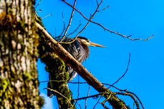 Young Great Blue Heron sitting on tree branch in Pitt-Addington Marsh at Pitt Lake in Fraser Valley of British Columbia, Canada stock images