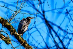Young Great Blue Heron sitting on tree branch in Pitt-Addington Marsh at Pitt Lake in Fraser Valley of British Columbia, Canada royalty free stock photography