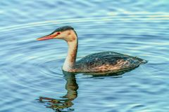 Young great crested grebe swimming Royalty Free Stock Photo