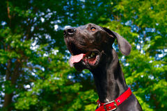 Young Great Dane Stock Images