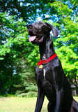 Young Great Dane Royalty Free Stock Photos