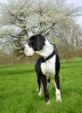 Young Great Dane or German Mastiff Stock Photos