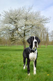 Young Great Dane or German Mastiff Royalty Free Stock Photography